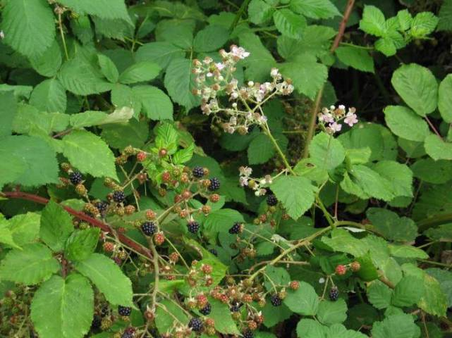 blackberry-susan_aldrich-markham_-osu1