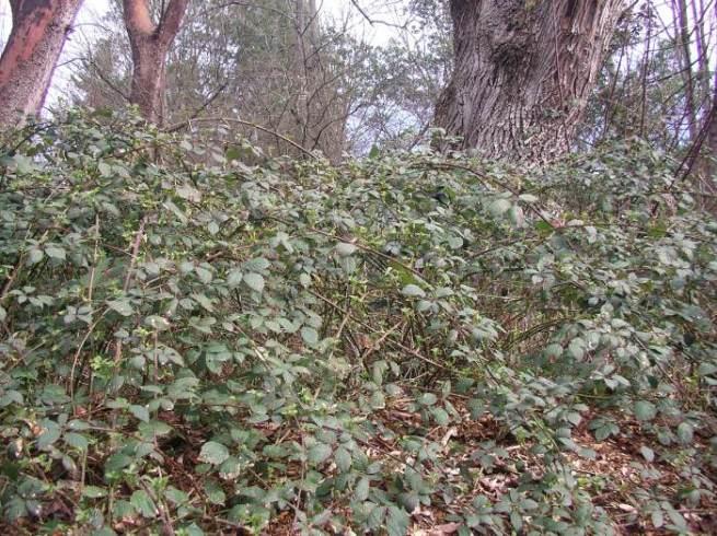 himalayan-blackberry-ravennapark