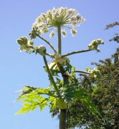 hogweed-flowering-bluesky1