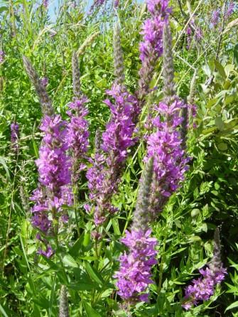 purple-loosestrife-flowers-july